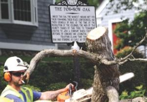 A worker cuts up a fallen limb from the historic Pow-Wow Oak.